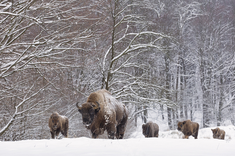 Bialowieza Nemzeti Park