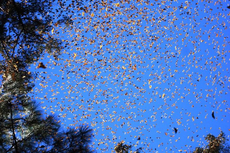 Mariposa Monarca Bioszféra-rezervátum