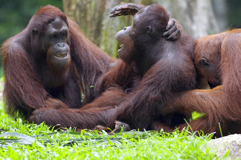 Sepilok Orangután Rehabilitációs Központ