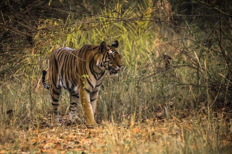 Bandhavgarh Nemzeti Park